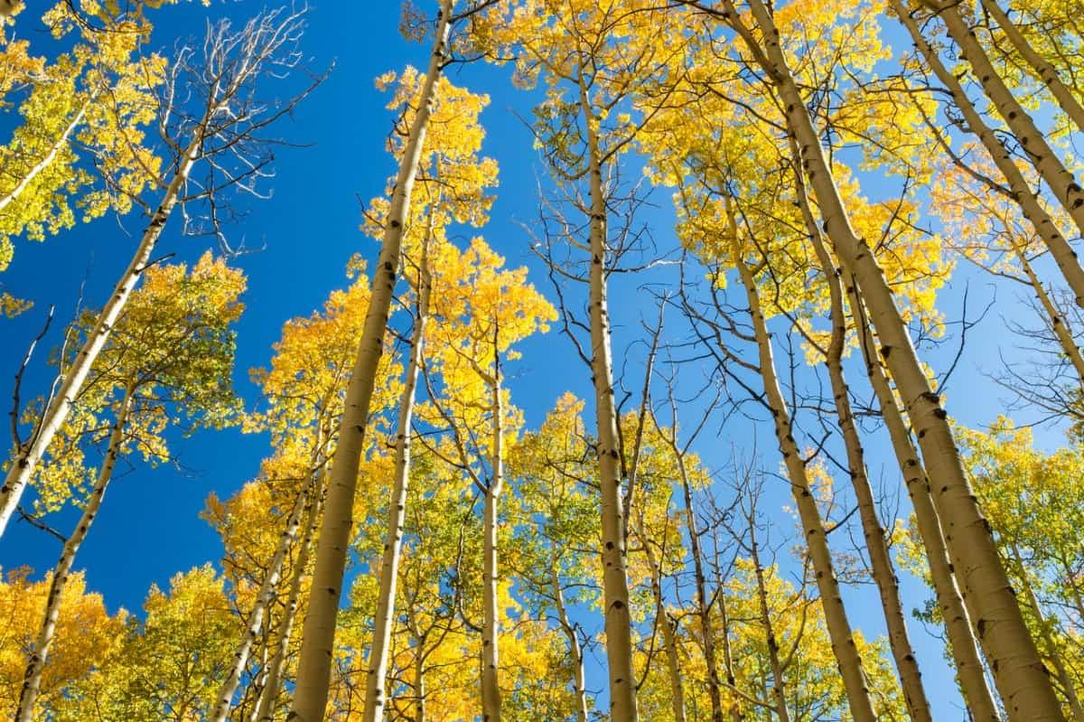 Quaking aspen is Utah's state tree.
