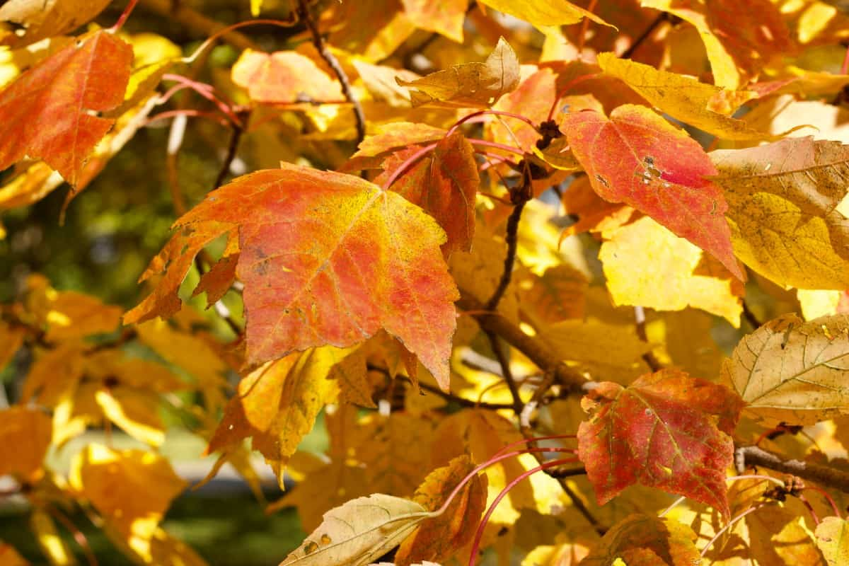 Red maple trees have yellow, red, and orange autumn leaves.