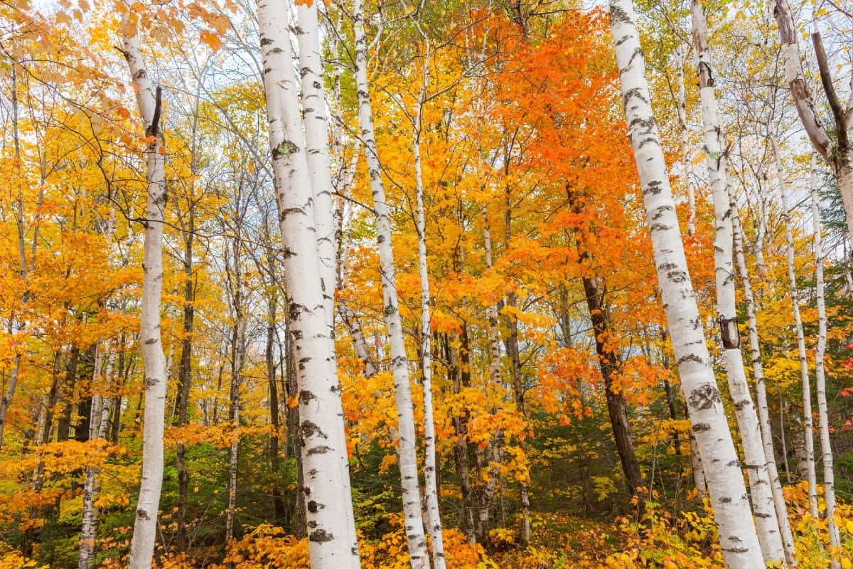 Silver birches are low maintenance.