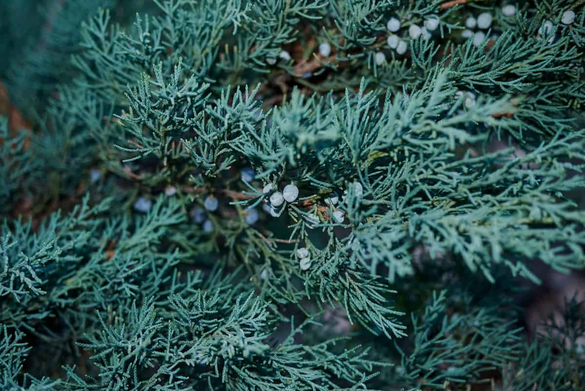 Skyrocket juniper makes an excellent low-maintenance privacy tree.