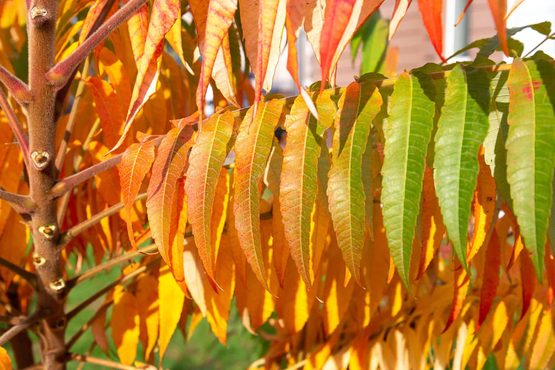 The staghorn sumac is also called the vinegar sumac.