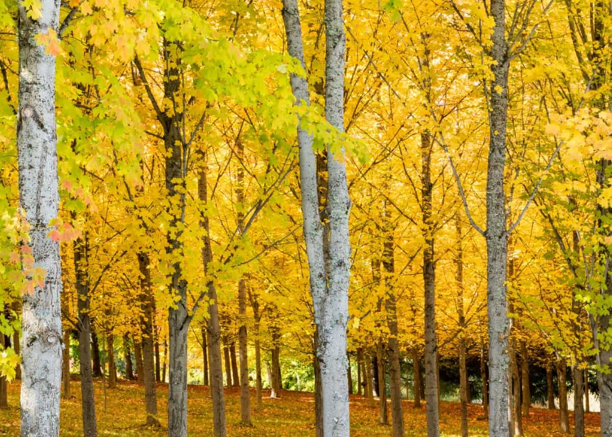 Sugar maple trees form dense crowns of yellow leaves.