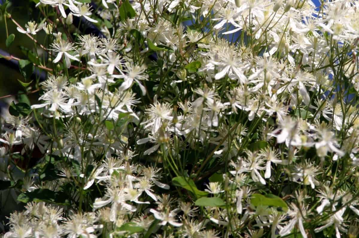 Sweet autumn clematis has lacy spring flowers.