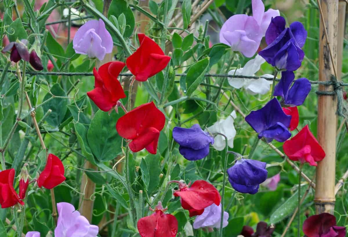 The sweet pea is a low maintenance spring bloomer.
