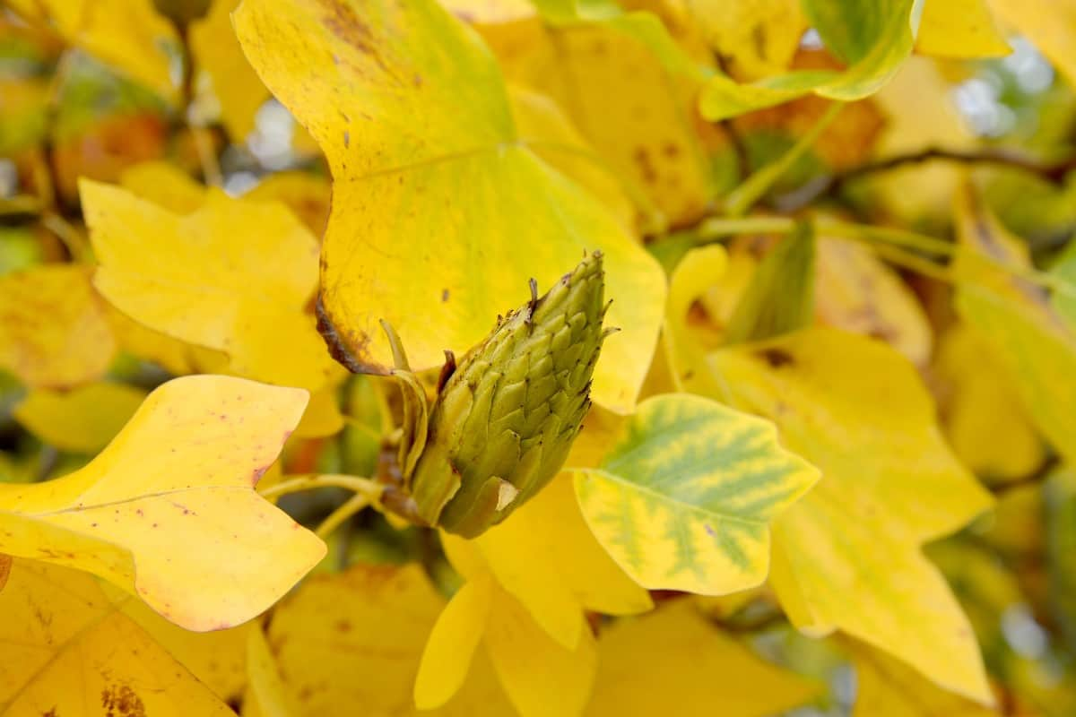Tulip trees have yellow flowers and yellow fall leaves.