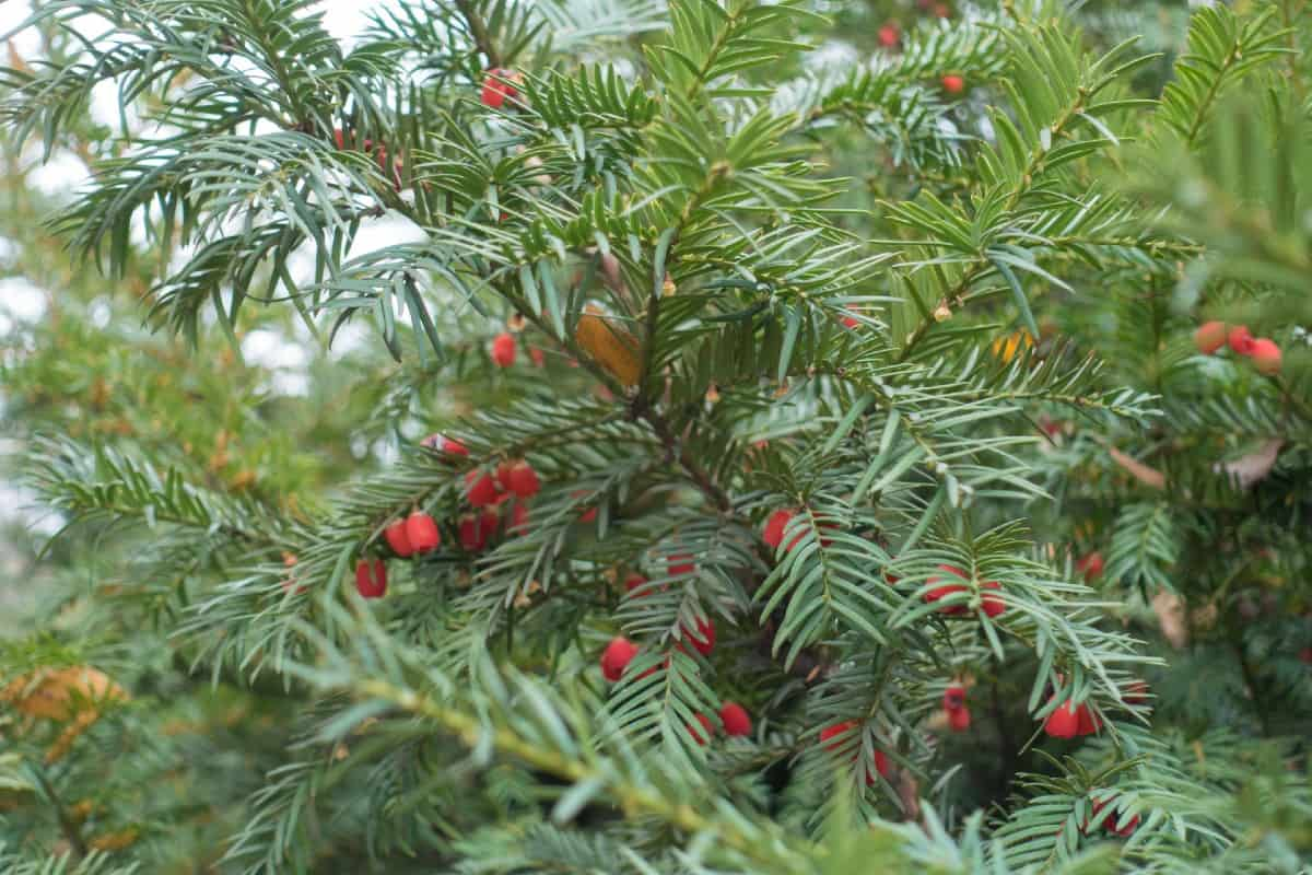 Yew trees make an attractive border or specimen plant.