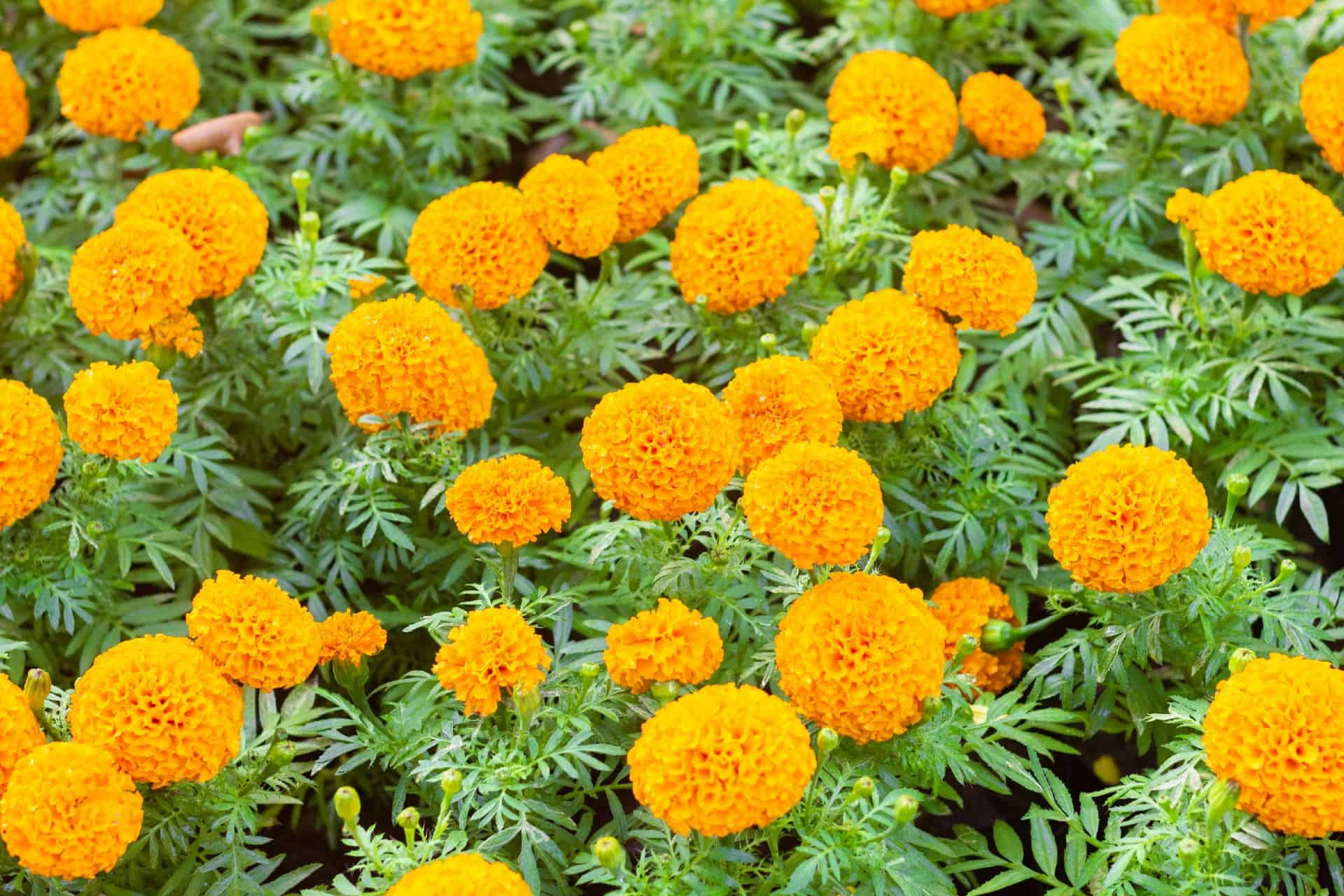 African marigolds produce carnation-like flowers.