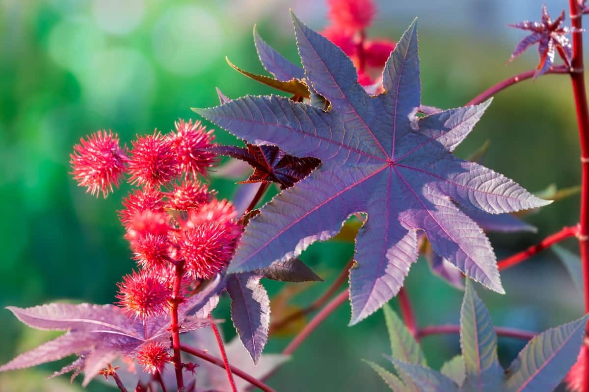 The castor bean plant is poisonous to moles and everyone else, too.