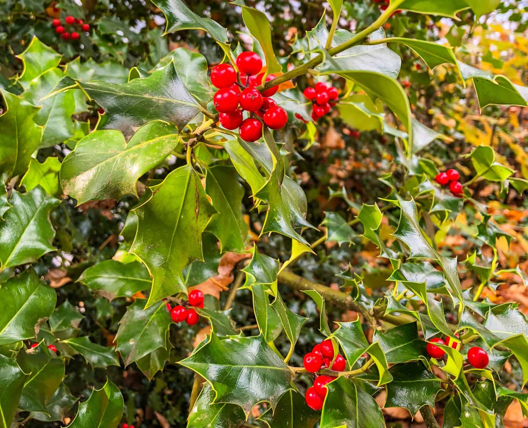 Common holly is well-known for its spiny leaves.