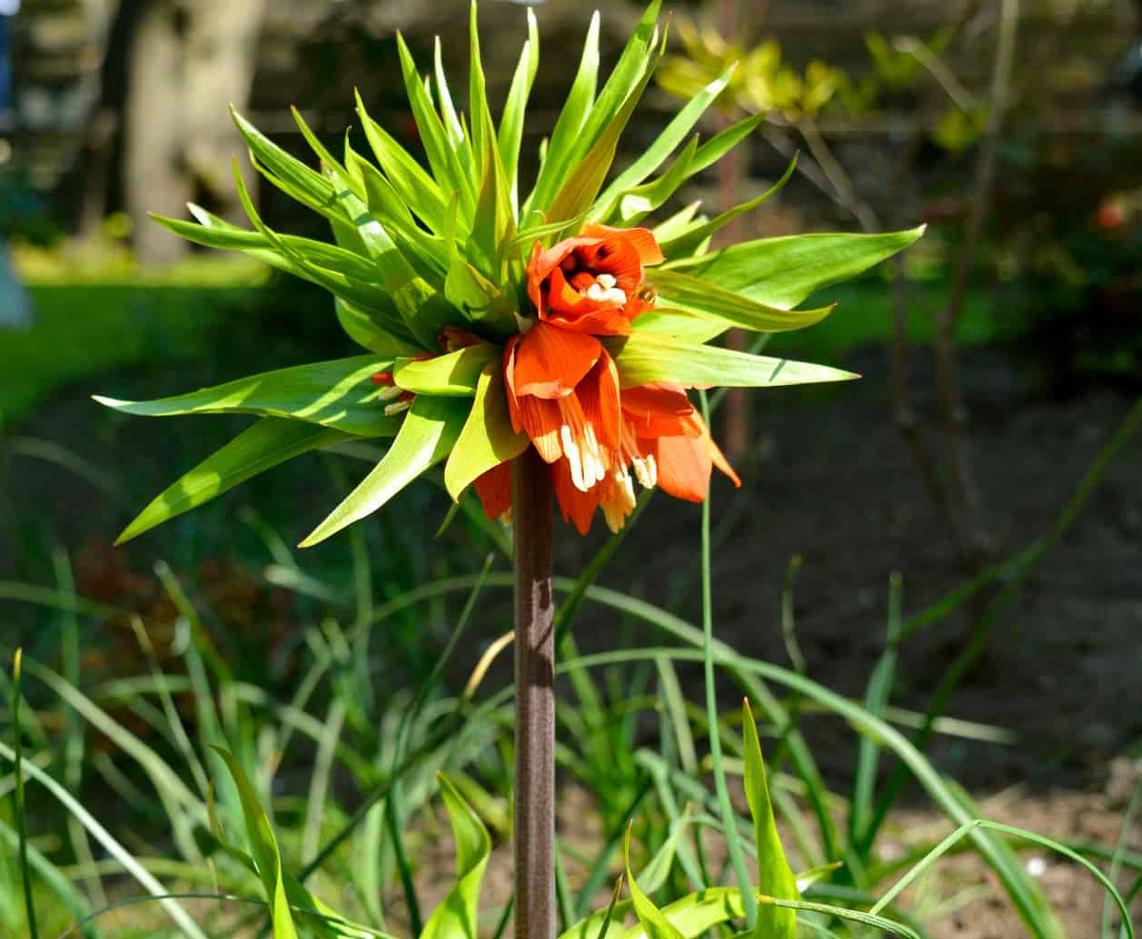 The crown imperial has bell-shaped flowers.