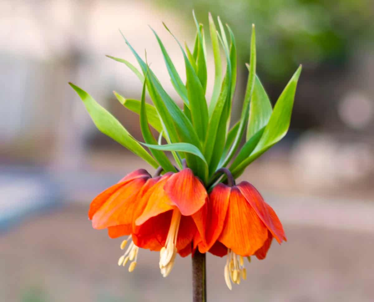 The crown imperial has an odor that repels skunks.