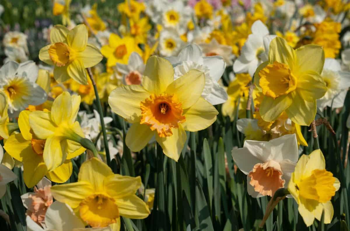 Daffodils are pretty mole-repellent plants.