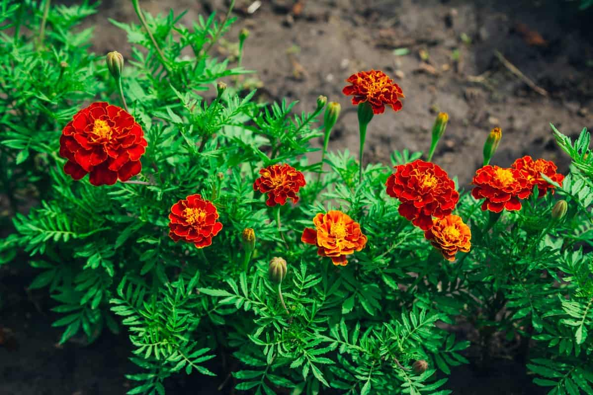 French marigolds are continuous bloomers.