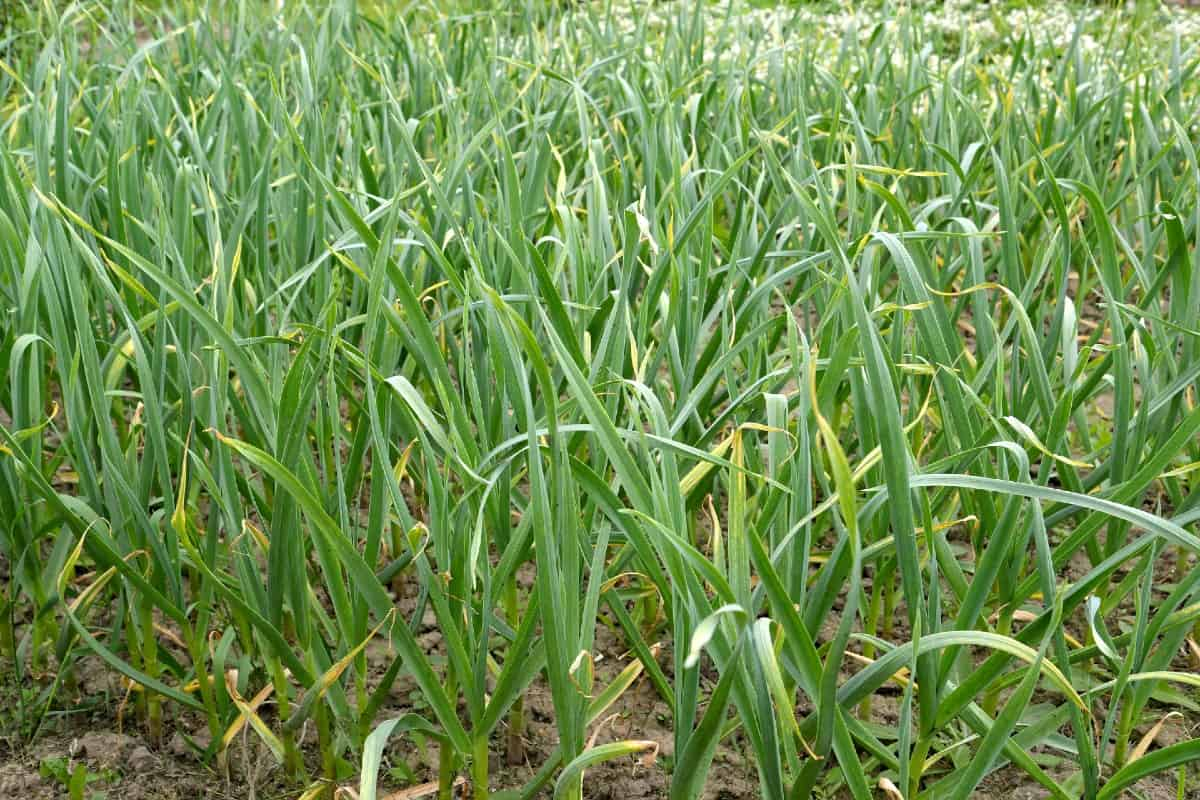 Plant garlic in the fall for a summer harvest.