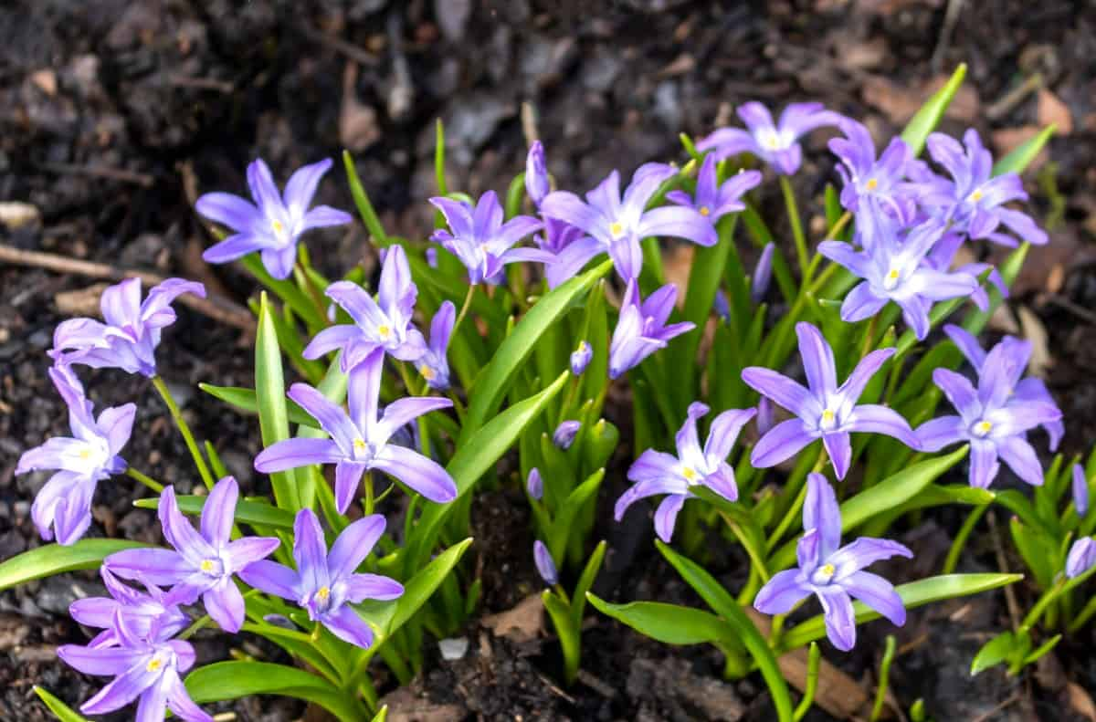 Glory-of-the-snow has star-shaped flowers.