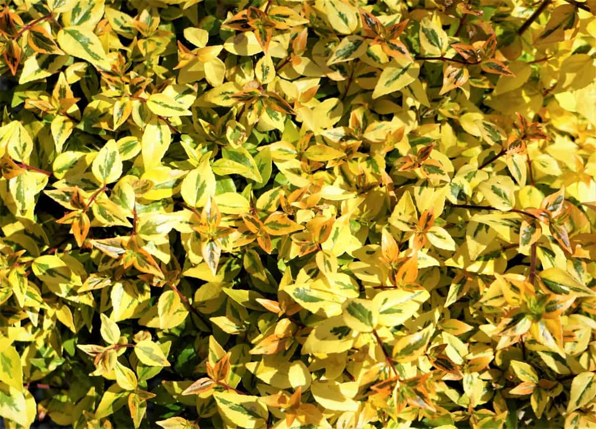 The glossy abelia has four-season interest and color.