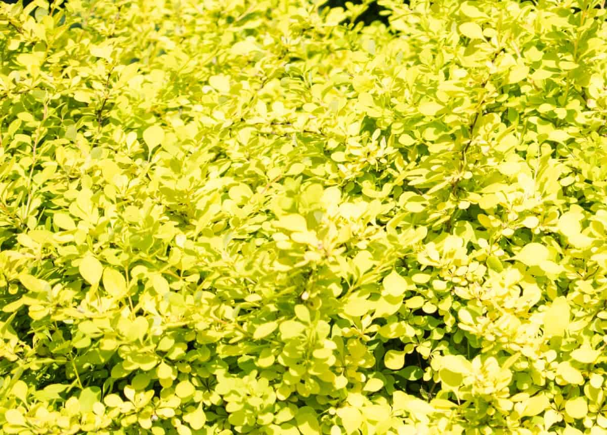 The golden Chinese barberry is a yellow-flowering shrub.