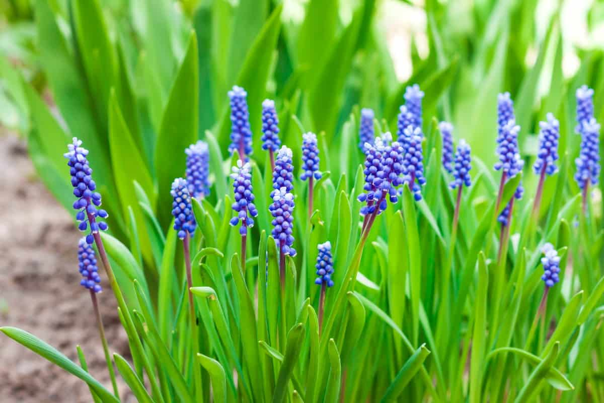 The grape hyacinth is a spring-blooming perennial.