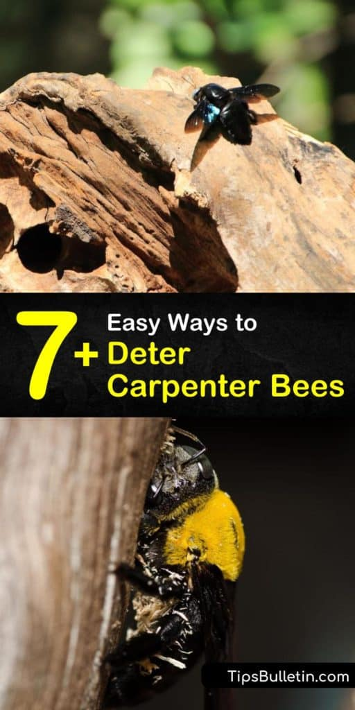 Find out the best ways to get rid of carpenter bees without using pesticides. If you see sawdust under your eaves, it might be from female carpenter bees. Act fast to seal the hole with caulk. #howto #deter #carpenter #bees