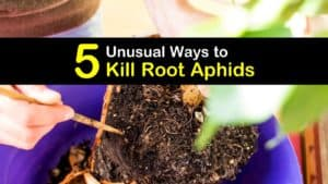 How to Kill Root Aphids titleimg1
