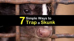 How to Trap a Skunk titleimg1
