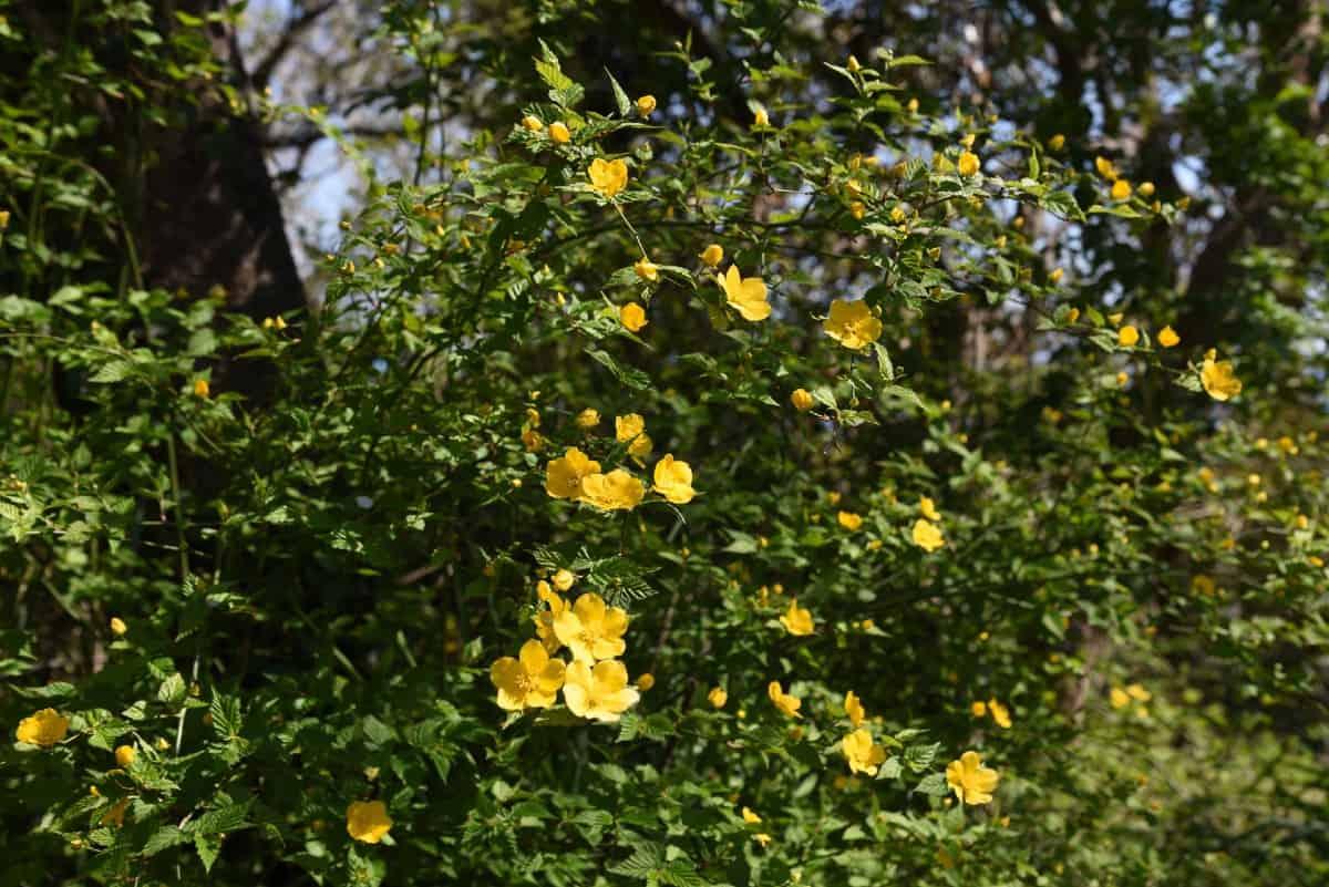 Japanese roses prefer part shade.