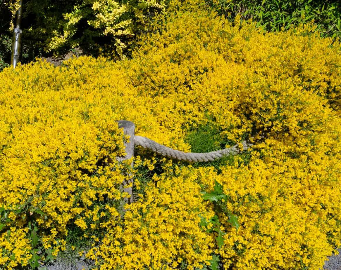 For a tough yellow shrub, grow lydian broom.