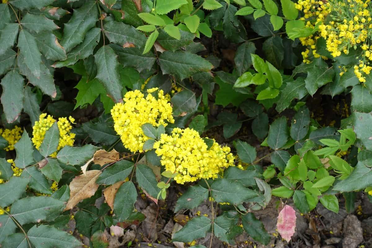 Oregon grape plants are evergreens with three-season interest.