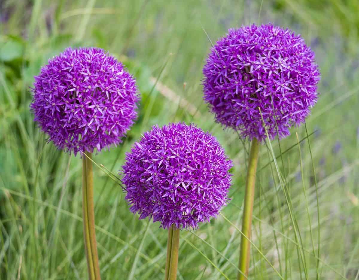 Purple sensation ornamental onions have attractive flower bulbs.