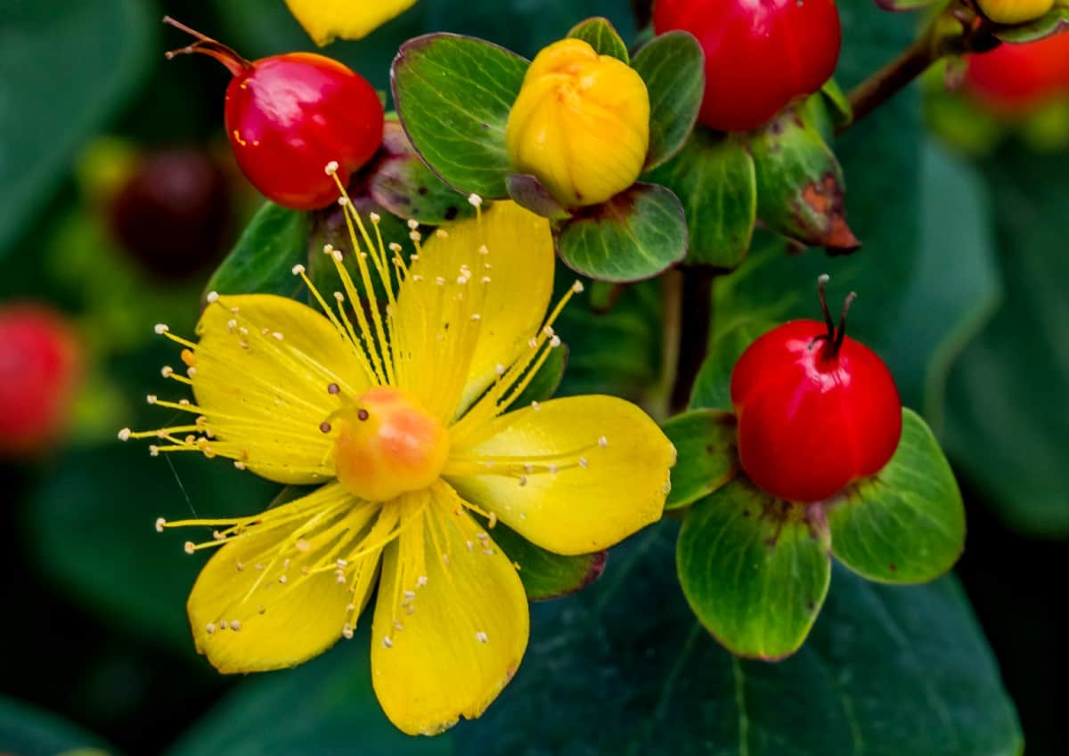 Red fame St. John's wort is a semi-evergreen.