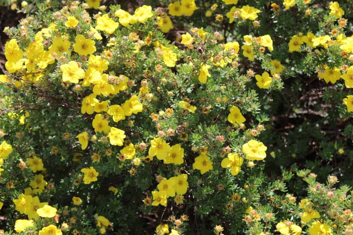 Shrubby cinquefoil has a long blooming period.