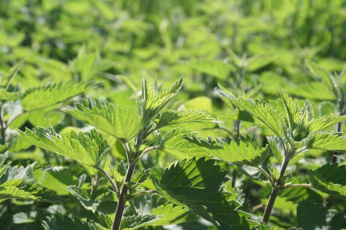 Stinging nettle is one of the best plants for repelling skunks.