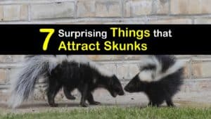 What Attracts Skunks titleimg1