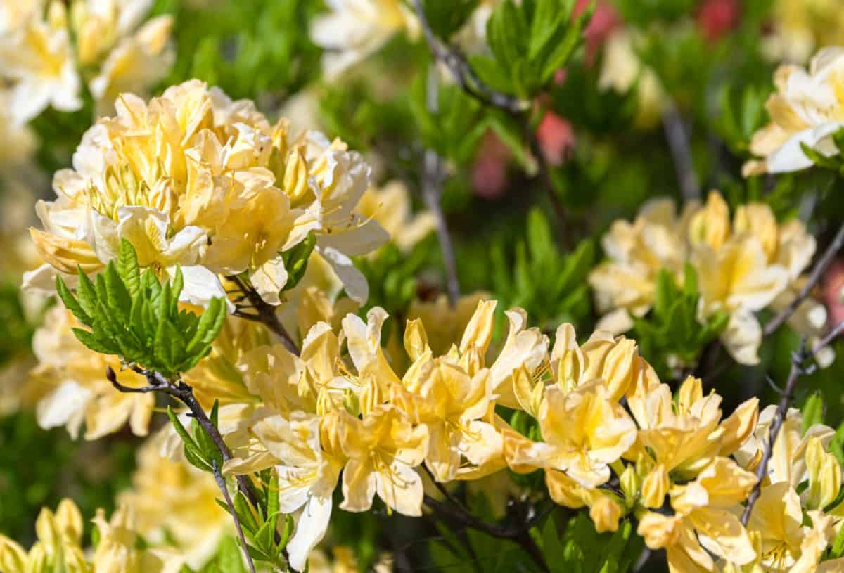 Windsong rhododendrons have beautiful yellow flowers.