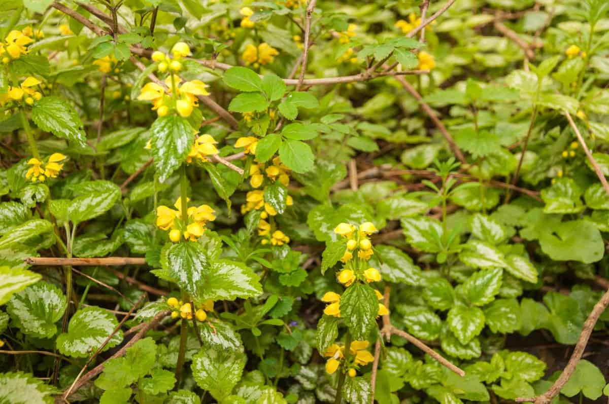 The yellow archangel is ideal for erosion control.