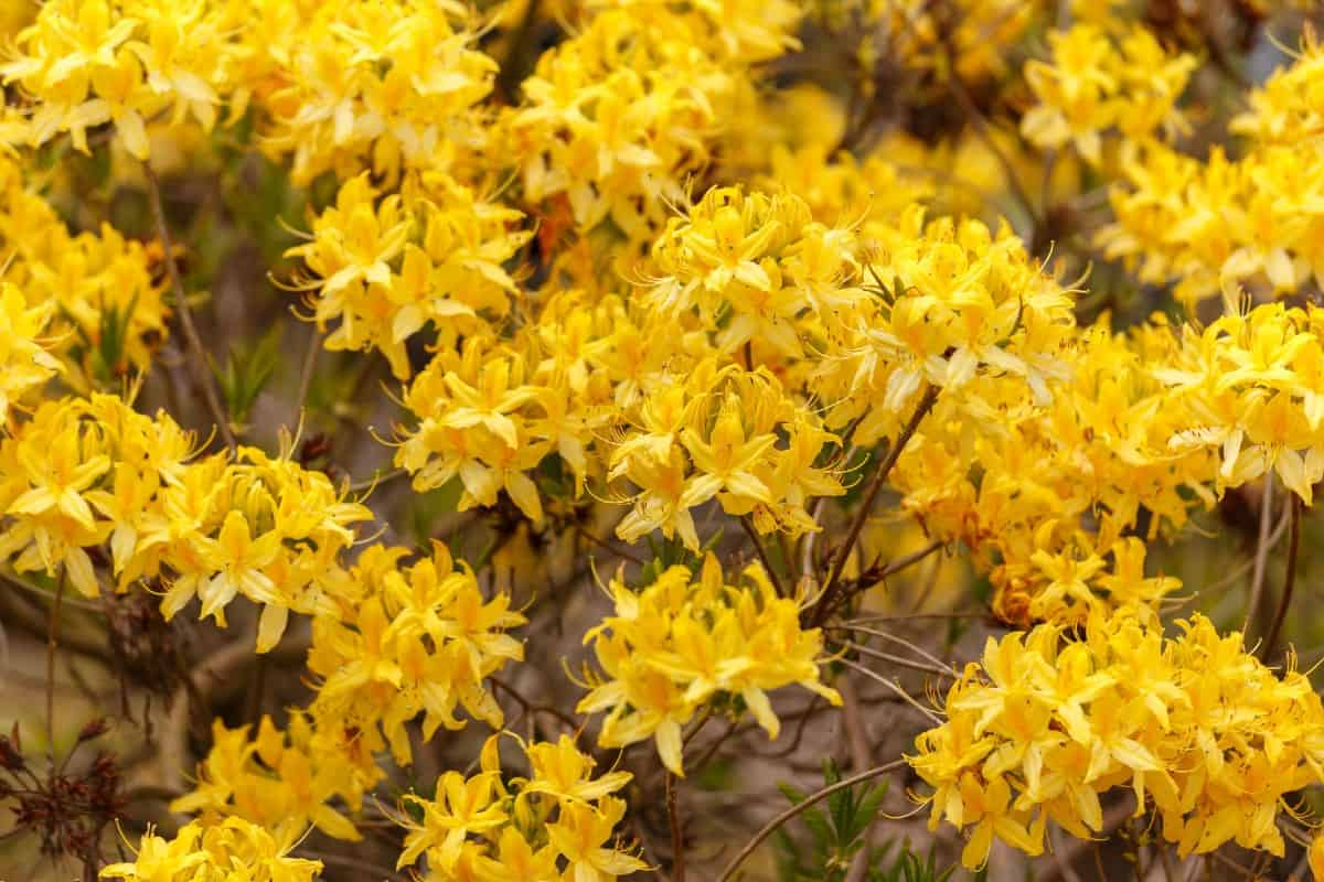 Yellow azaleas have a sweet smell.