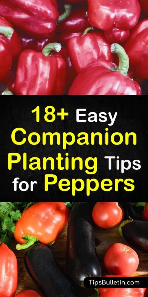 Distinguish between a good companion and a bad companion plant with these species for planting near peppers. Learn how chives, oregano, marigolds, radishes, and marjoram all attract beneficial insects while repelling the bad ones, while Brussels sprouts harm them. #companion #planting #peppers