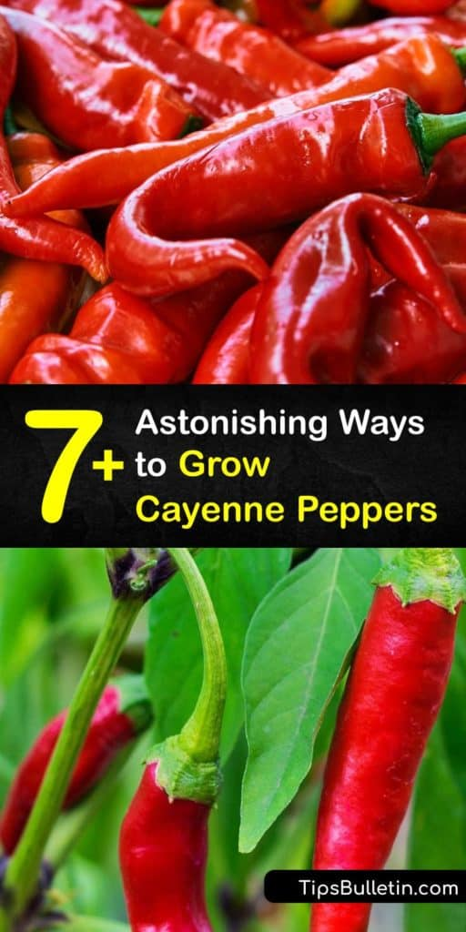 Start this growing season by planting capsicum annuum or cayenne pepper seeds. Grow cayenne peppers indoors after the last frost. Before transplanting hot peppers, like jalapeno or chili pepper, gradually get them accustomed to outdoor conditions. #howto #grow #cayenne #pepper