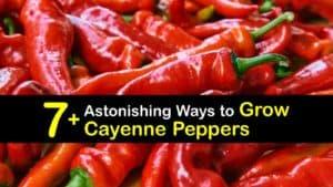 Growing Cayenne Pepper titleimg1