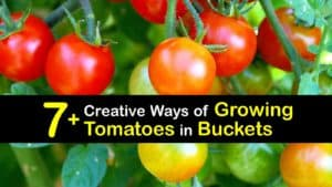 Growing Tomatoes in Buckets titleimg1