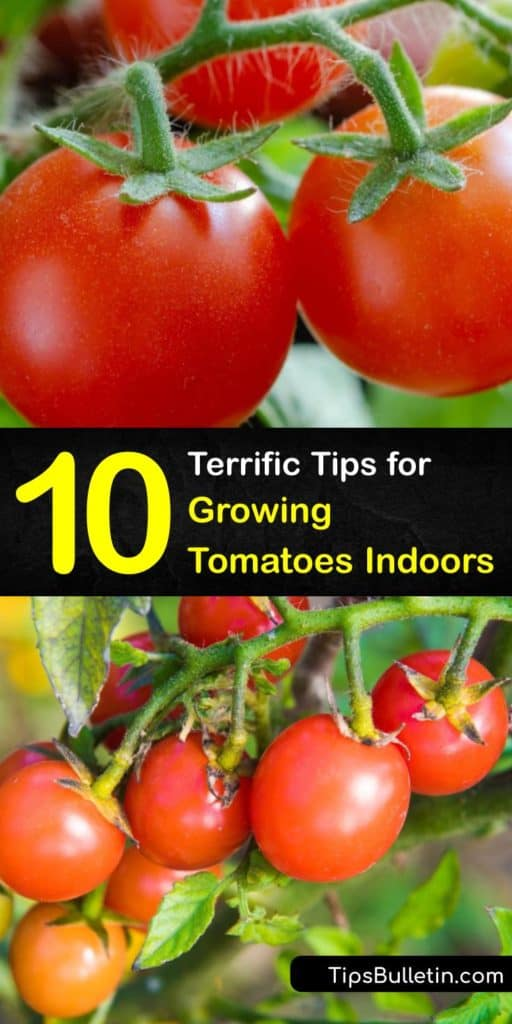Discover how to grow tomatoes by starting them indoors and moving your indoor tomatoes to the garden or patio. There are many tomato varieties, from vining to determinate tomatoes, and all they need is good potting soil, water, and sunshine to produce fruit. #howto #grow #tomatoes #indoors