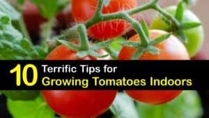 Growing Tomatoes Indoors titleimg1