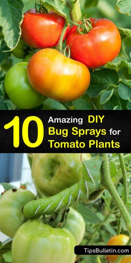 Find out how to protect your tomato plants in your garden from pests like whiteflies and aphids. A natural DIY repellent made from baking soda, a hot pepper, or dish soap works to save your damaged tomato leaves. #homemade #bug #spray #tomato #plants