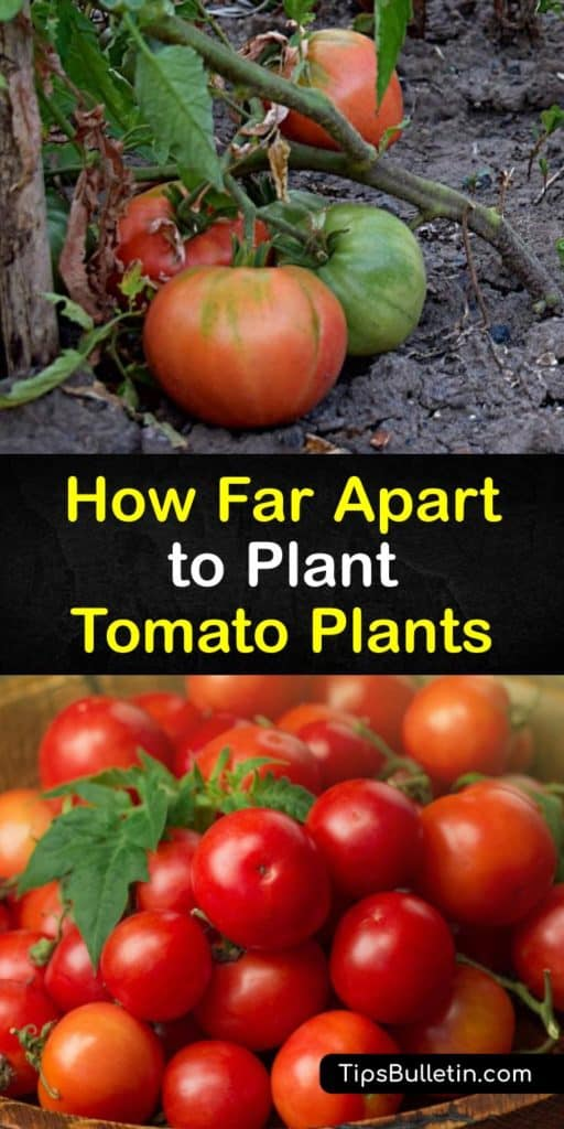 Learn how far apart to plant tomatoes this growing season. Whether you plant determinate tomatoes or indeterminate tomatoes on a trellis, there is a proper way to space the seeds. Staking indeterminate varieties allows you to save space in your garden. #howto #space #tomatoes #apart