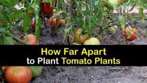 How Far Apart to Plant Tomatoes titleimg1