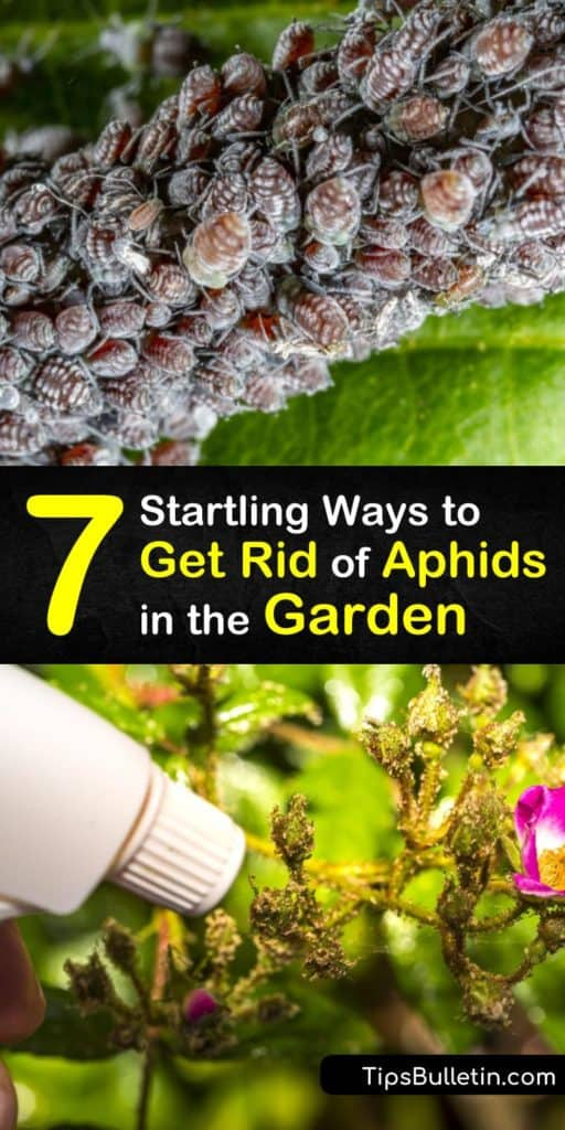 Kill aphids and garden pests without pesticides using these amazing tricks. An aphid population damages plants and leaves behind sooty mold. Kill every species of aphids with neem oil and beneficial insects like lacewings that prey on aphids. #howto #getridof #aphids #garden