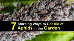 How to Get Rid of Aphids in the Garden titleimg1