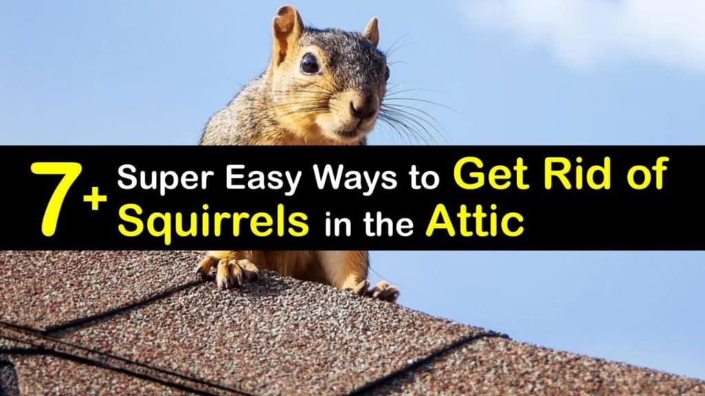 How to Get Rid of Squirrels in the Attic titleimg1