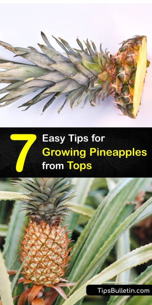 Discover how to grow a new plant from a fresh pineapple from the grocery store and from seeds. It's easy to grow a houseplant from the scraps of this tropical fruit by removing the bottom leaves, letting it dry out, and then soaking it. #howto #grow #pineapple #regrowing