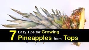 How to Grow a Pineapple titleimg1